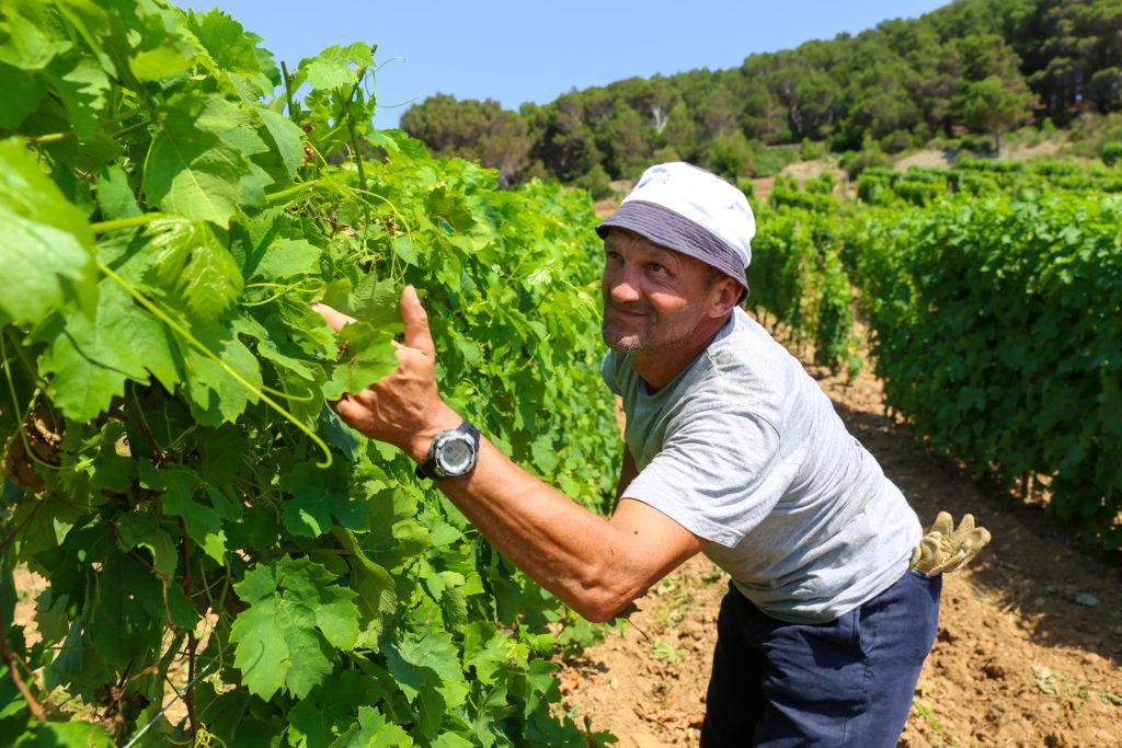 Gevangenen werkt in de wijngaard van Gorgona