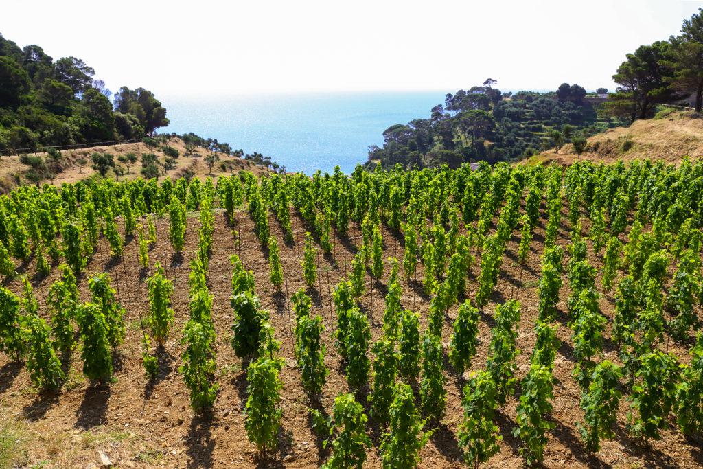 De wijngaarden van Gorgona aan zee
