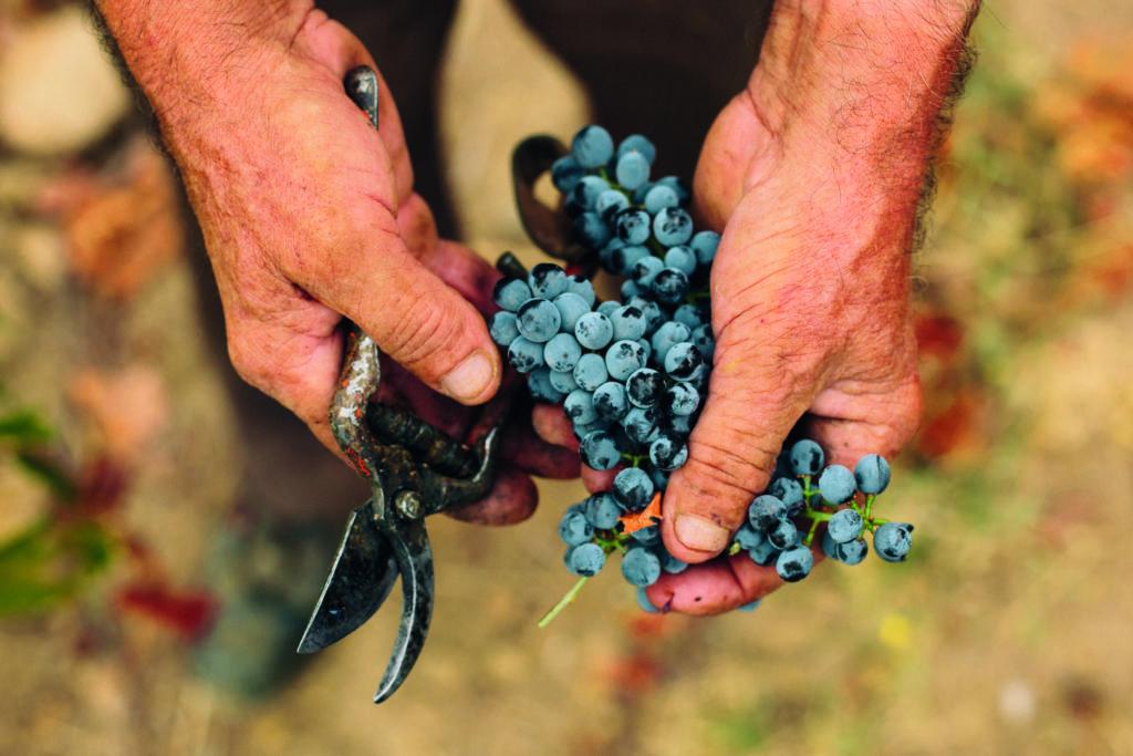 hand met trosje Portugese blauwe druiven