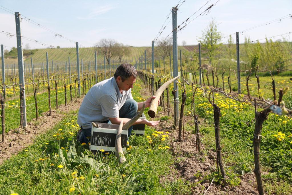 biodynamische wijnboer met een koehoorn in de wijngaard