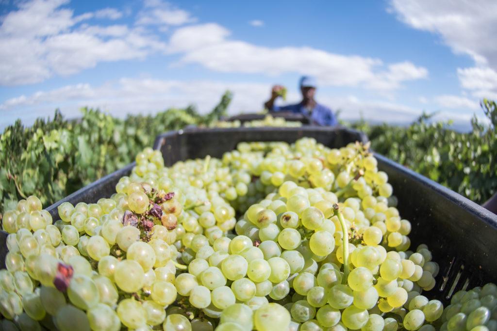 oogsttijd: een krat vol groene druiven