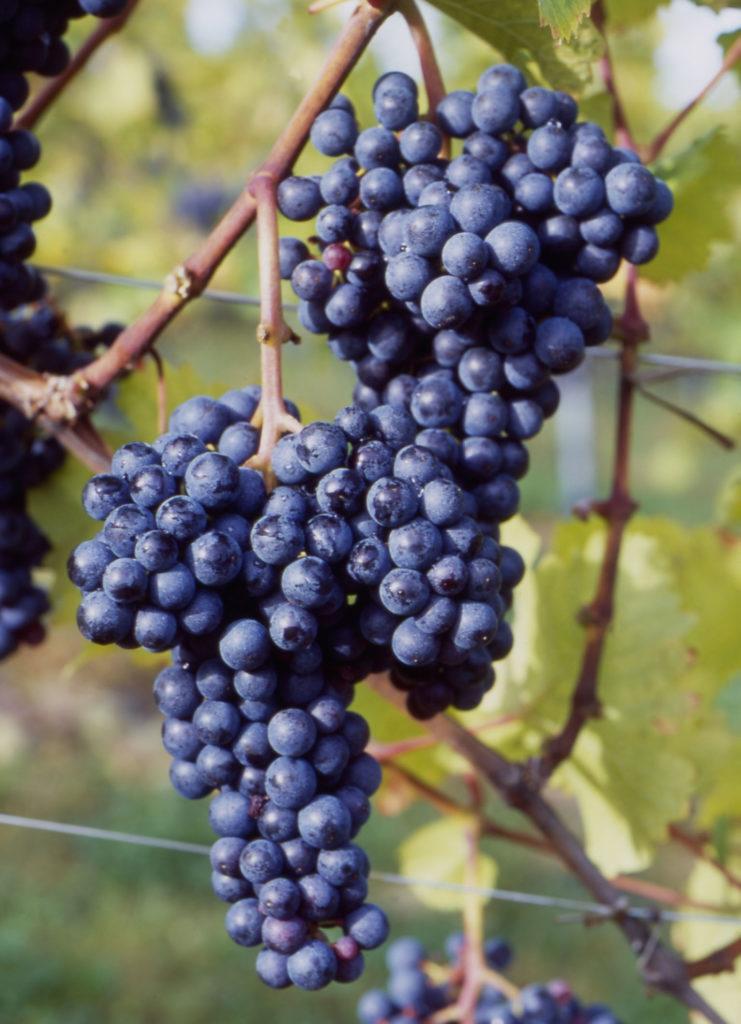 een tros zweigelt druiven