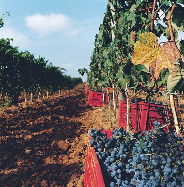 Rode kratten met blauwe druiven in de wijngaard voor Sassicaia