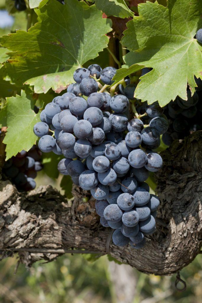Châteauneuf-du-Pape druif grenache in de wijngaard