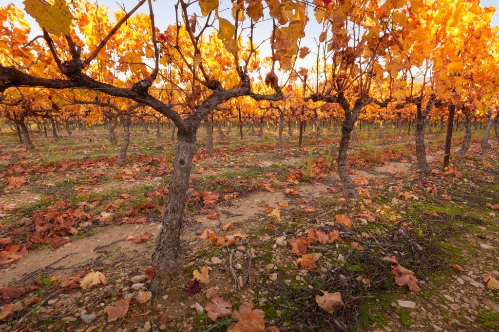 Herfst wijngaard Châteauneuf-du-Pape